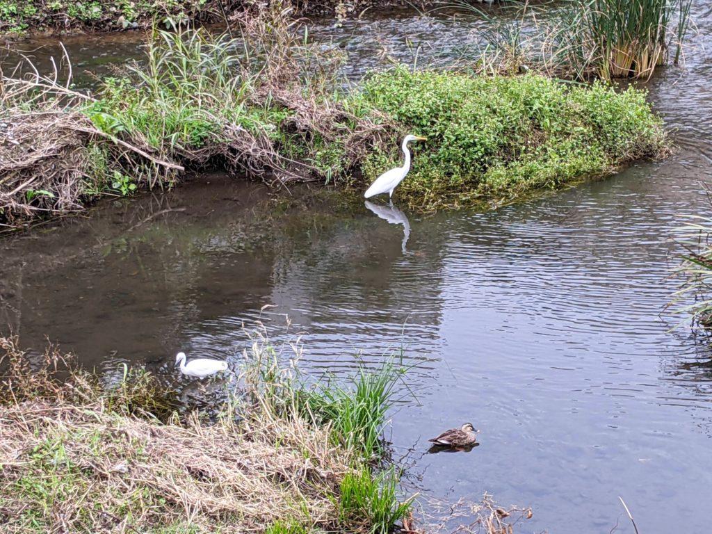 野川のシラサギ